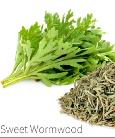 Sweet wormwood - Artemisia
